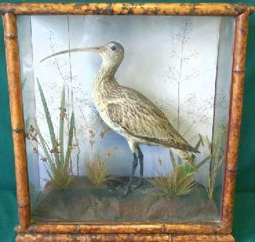 bamboocurlew[1].JPG